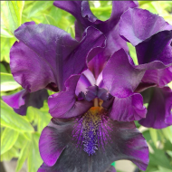 Blackalicious Bearded Iris