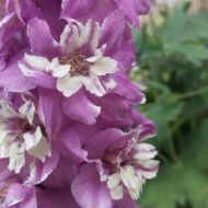 Magic Fountain Delphinium