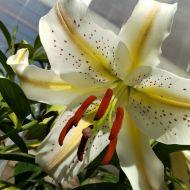 Oriental Lily2