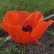 Poppy - Prince of Orange2