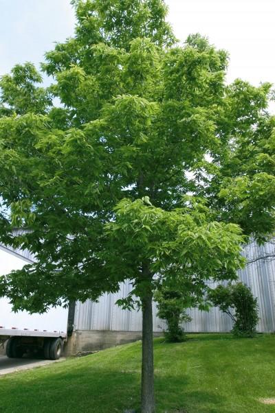 Hackberry Tree Leaves