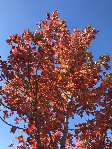 Autumn Blaze Maple Acer X Freemanii Jeffersred Greenwood Nursery
