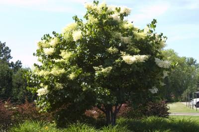 Japanese Tree Lilac Clump Syringa Reticulata Greenwood Nursery