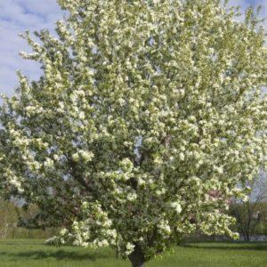 Emerald Lustre Maple Acer Platanoides Pond Greenwood Nursery