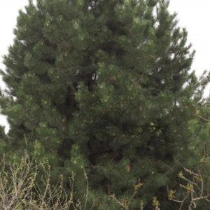 Mature Austrian Pine