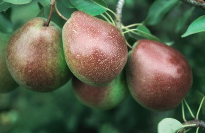 Parker Pear Tree Pyrus