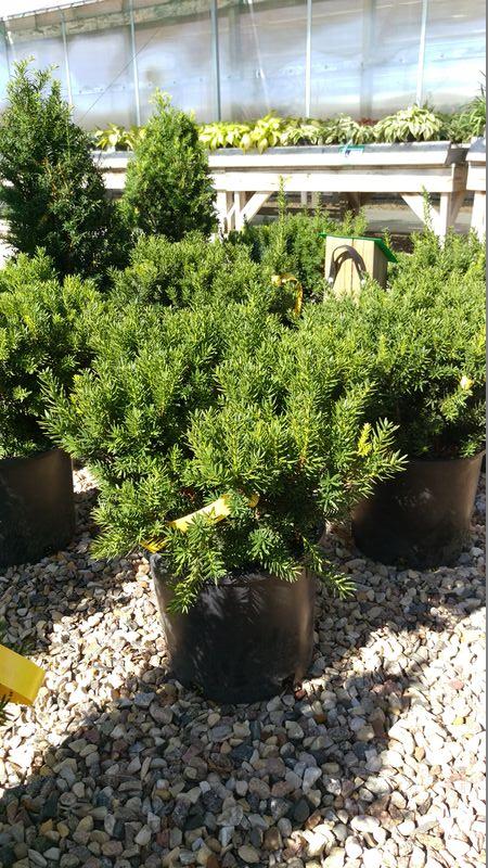 Japanese Spreading Yew Taxus Baccata Greenwood Nursery