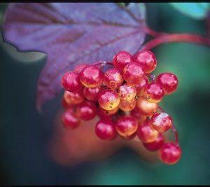 American Cranberrybush1